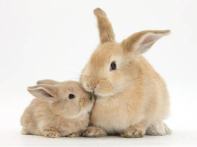 Rabbit Photograph - Sandy Rabbit And Baby by Mark Taylor