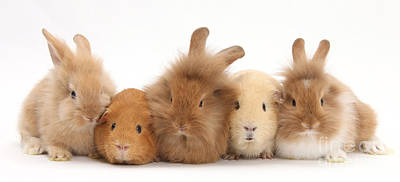 Baby Pigs Wall Art - Photograph - Sandy Rabbits And Guinea Pigs by Mark Taylor