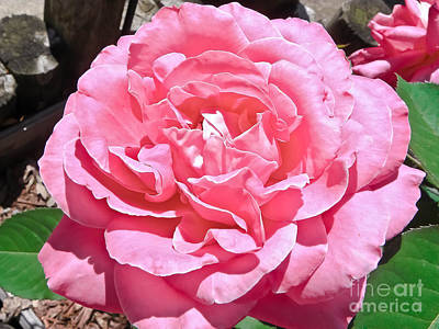 Found Round And About Photograph - Sandys Rose Of Pink by Tisha  Clinkenbeard