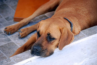 Photograph - Santorini Island Dog by Harvey Barrison
