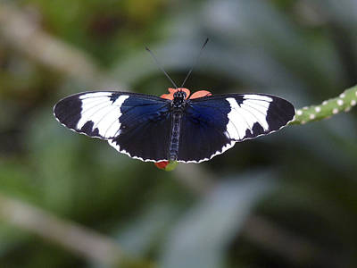 Photograph - Sapho Longwing Butterfly. by Chris  Kusik