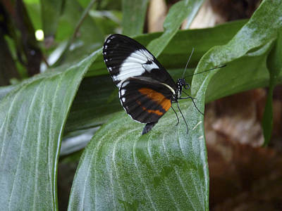 Photograph - Sapho Longwing Butterfly II. by Chris  Kusik