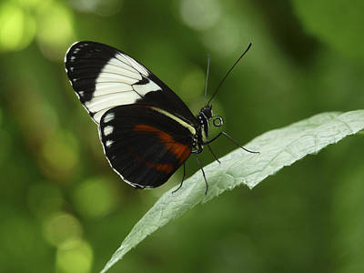Photograph - Sapho Longwing Butterfly IIi. by Chris  Kusik