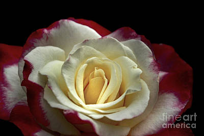 Photograph - Sarah's Rose by Benanne Stiens