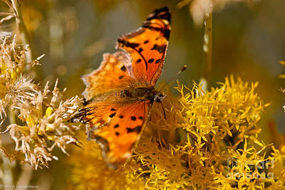 Eriogonum Photograph - Satyr Comma Butterfly by Mitch Shindelbower