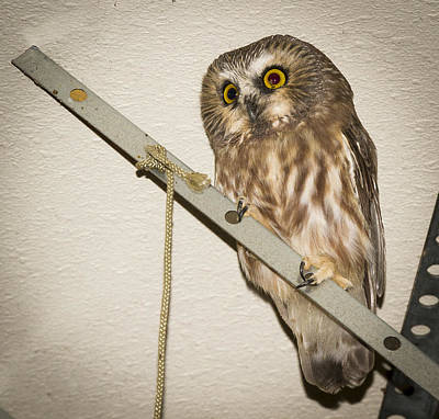 Whet Owl Photograph - Saw-whet by Jean Noren