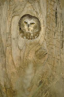 Saw Whet Owl In Hollow Tree Art Print by John Pitcher