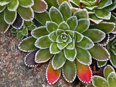 Saxifraga Paniculata Art Print