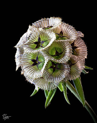 Photograph - Scabiosa by Endre Balogh