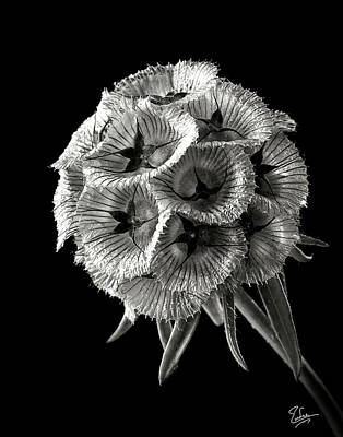 Photograph - Scabiosa In Black And White by Endre Balogh