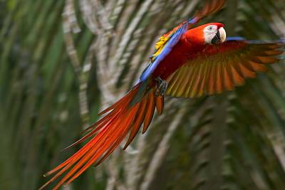 Osa Wall Art - Photograph - Scarlet Macaw (ara by Roy Toft