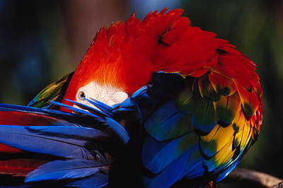 Photograph - Scarlet Macaw by Bradford Martin