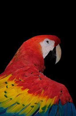 Scarlet Macaw Art Print by C Thomas Willard