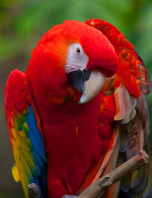 Art Print featuring the photograph Scarlet Macaw by Cindy Haggerty