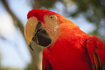 Colorful Contemporary Photograph - Scarlet Macaw Parrot by Adam Romanowicz