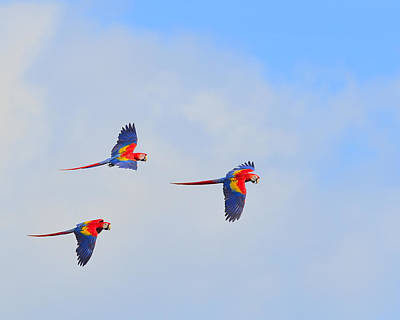 Scarlet Macaws Art Print by Tony Beck