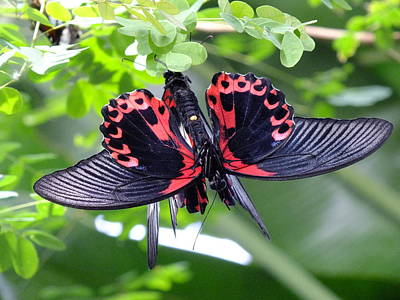 Photograph - Scarlet Mormon Butterflies by Peggy King
