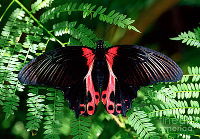 Photograph - Scarlet Mormon Butterfly by Terry Elniski