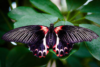 Photograph - Scarlet Swallowtail Butterfly by David Patterson