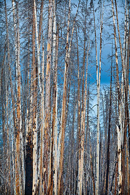 Scarred Pines Yellowstone Original by Steve Gadomski