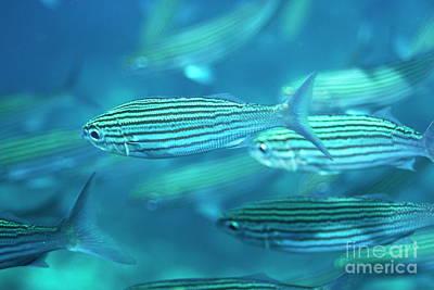 School Of Black Striped Salema Fishes Art Print by Sami Sarkis