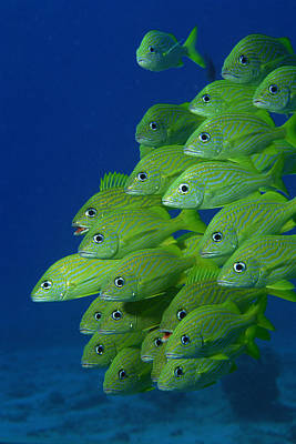 Photograph - School Of French Bluestriped And Margate Grunts by Comstock