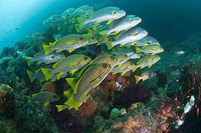 Blackspotted Photograph - School Of Sweetlips by Matthew Oldfield