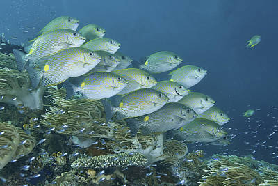 Y120831 Photograph - Schooling Golden Rabbitfish by Jones/Shimlock-Secret Sea Visions