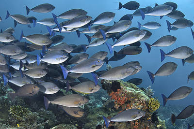 Y120831 Photograph - Schooling Sleek Unicornfish (surgeonfish) by Jones/Shimlock-Secret Sea Visions