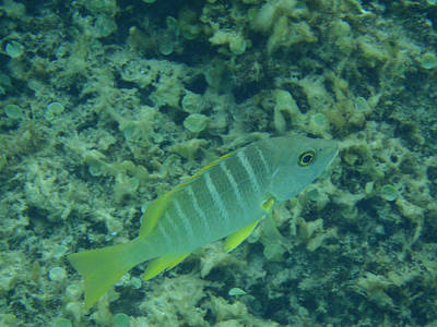 Underwater Photograph - Schoolmaster Reef Fish by Kimberly Perry
