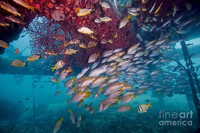 Schools Of Gray Snapper, Yellowtail Art Print by Terry Moore