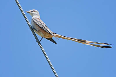 Flycatcher Photograph - Scissor-tailed Flycatcher by Bonnie Barry