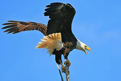 Photograph - Screaming Eagle by Ira Runyan