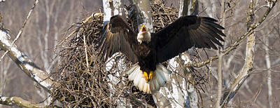 Art Print featuring the photograph Screaming Eagle  by Randall Branham