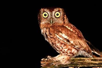 Photograph - Screech Owl At Night by Ira Runyan