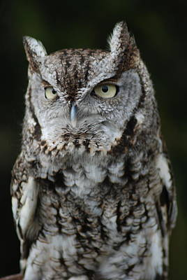 Photograph - Screech Owl by Richard Bryce and Family