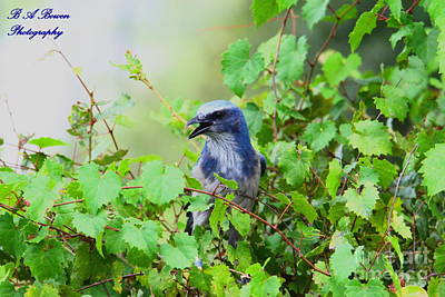 Oscar Scherer State Park Photograph - Scrub Jay Hiding In A Grape Vine by Barbara Bowen