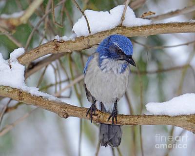 Photograph - Scrub Jay In The Snow by Jack Moskovita