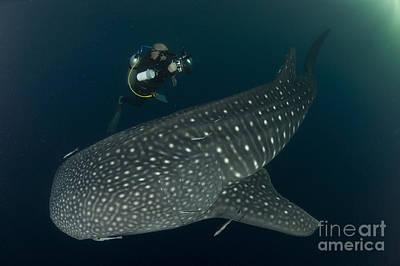 Scuba Diver And Whale Shark, Papua Art Print by Steve Jones