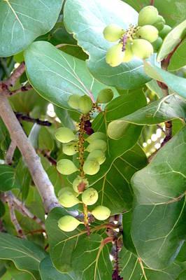Photograph - Sea Grapes by Carla Parris
