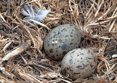 Photograph - Sea Gull Eggs Ready To Hatch by Eddie Yerkish