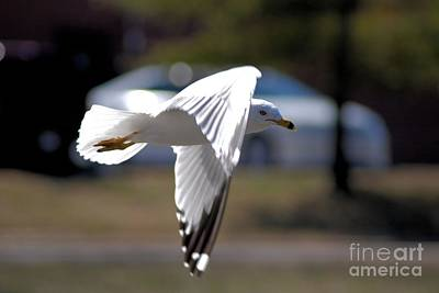 Photograph - Sea Gull In Flight by Mark McReynolds