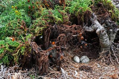 Photograph - Sea Gull Nest by Eddie Yerkish
