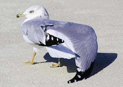 Sea Gull Stretching It Out Art Print by Paulette Thomas