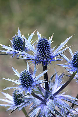 Photograph - Sea Holly by Doug Lloyd