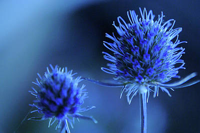 Blue Flowers Photograph - Sea Holly Flower by Sarah Cowan Photography