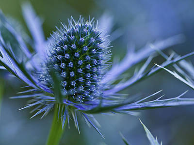Municipality Photograph - Sea Holly by Laszlo Podor Photography
