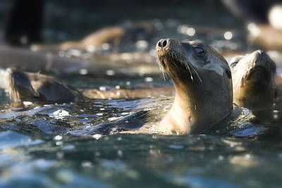 Sea Lions Photograph - Sea Lion And Friends by Steve Munch