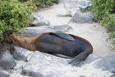 Photograph - Sea Lion Detour by Harvey Barrison