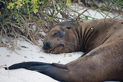 Photograph - Sea Lion Of Espanola by Harvey Barrison